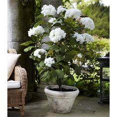 potted peony - Google Search