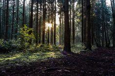 Herbstsonne im Wald. Im Wald herrscht im Herbst oftmals eine ganz besondere Stimmung. Hier scheint die tief stehende Herbstsonne durch einen dichten Tannenwald. Diese Aufnahme entstand an einem schönen Oktobernachmittag in einem Wald in Dorsten.
