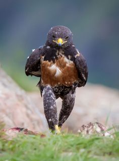 A jackal hawk strides purposefully while on the hunt for food in Giants Castle in Kwa Zulu Natal, South Africa, Picture: Clint Ralph/Caters