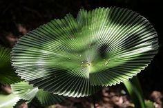 Licuala peltata var. 'sumawongii' live rare palm 3 gal in Plants | eBay