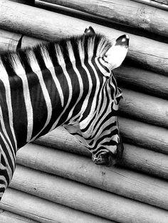 Cebra Voyerista / Voyeur Zebra by * Cati Kaoe *, via Flickr