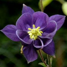 Columbine or Aquilegia Single Purple Seeds Perennial Easy To Grow from Seed Beautiful Flowers Garden, Amazing Flowers, Pretty Flowers, Purple Flowers, Beautiful Gardens, Wild Flowers, Columbine Flor, Growing Seeds, Flower Pictures