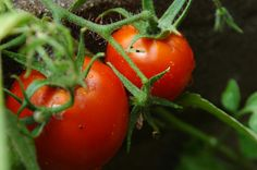 Answers to Your Tomato Problem Questions