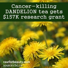 Natural Cures Not Medicine: Cancer Killing Dandelion Tea Gets Research Grant. Thank you Jillian Michaels for introducing me to the only thing I drink during the day: Dandelion Root Tea water