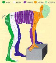 O Guia do Fisioterapeuta: Entendendo os Dermátomos