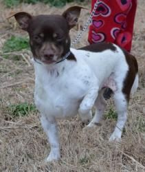 Oscar is an adoptable Chihuahua Dog in Salem, NH. A friend of ours saw this boy running the streets scared, he was shy at first.  Our 11 year old daughter brought him into her room to give him one on ...