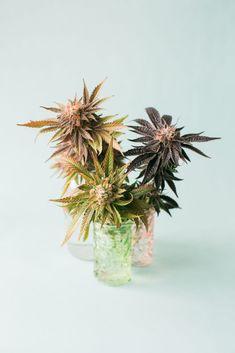 group of marijuana plant cuttings on pastel blue background by Cameron Zegers - Stocksy United Marijuana Art, Marijuana Plants, Cannabis, Pastel Blue Background, Health Anxiety, Anxiety Quotes, Plants, Ganja