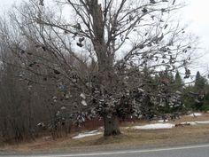 Shoe Tree, Hodgdon, Maine Family tradition on a farm south of Houlton, Me.