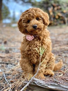 Labradoodles of Wisconsin is dedicated to the breeding and the sale of miniature/medium australian labradoodles. See our website to see what puppies are for sale. Super Cute Puppies, Cute Dogs, Miniature Australian Labradoodle, Mini Labradoodle Puppy, Puppy Pictures, Puppy Pics, Dog Wallpaper, Bernese Mountain, Mountain Dogs