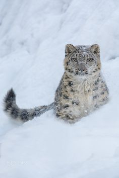 Snow Leopard cub in the Snow - null                                                                                                                                                      More