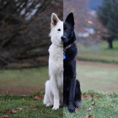Meet Kaya, the smiley white shepherd, and her buddy Hades, the black sable German Shepherd. They just became an Internet sensation after redditor Gallowboob posted their wedding photos on reddit.