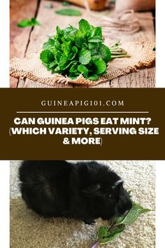 Can Guinea Pigs Eat Mint? (Which Variety, Serving Size & More) (Good or Bad? Find out!) I how to care for pet guinea pigs I pet guinea pig care I small animal care I guinea pig information I information on pet guinea pigs I what to do with pet guinea pigs I things to know about pet guinea pigs I pet guinea pig tips I care tips for pet guinea pigs I small pet homes I guinea pig cages I what can guinea pigs eat I food for guinea pigs I #guineapig #guineapigfoodplan #smallpets #pets Guinea Pig Food, Pet Guinea Pigs, Guinea Pig Care, Guinea Pig Information, Pigs Eating, Mint Plants, Mint Flowers, Aromatic Herbs