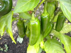 When to harvest jalapenos.