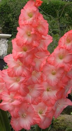 Gladiolus 'Sailor's Delight'