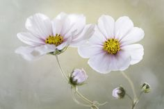 Cosmos | Flickr - Photo Sharing!