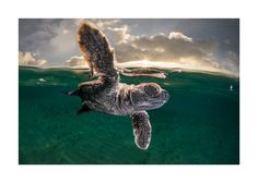 High Five Photo by Matthew Smith — National Geographic Your Shot National Geographic Society, National Geographic Photos, Sea Turtle Wallpaper, Turtle Images, Turtle Swimming, Save Our Oceans, Underwater Photographer, Turtle Love, Shot Photo