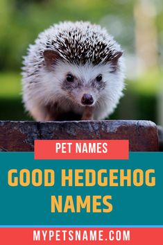 We would love to have a trio of Hedgehogs called Hewey, Dewey and Louis. If you've just welcomed a new pet hedgehog home, choose from our list of good hedgehog names which will suit your new pet perfectly. Hedgehog House, Baby Hedgehog, Newborn Kittens, Baby Kittens, Hedgehog Names, Ancient Egyptian Cities, Norse Names, Happy Names, Baby Bear Cub