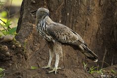 Crested Hawk Eagle on a hunt | Walk the Wilderness