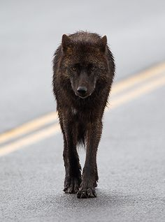 No Fear: Black Wolf on Road by Max Waugh Photography, via Flickr