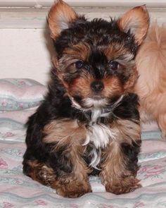 #Morkie puppy -- a little angel ! ♥
