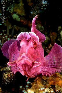 Eschmeyers scorpion fish