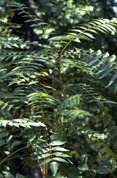 Tree of Heaven - this one is tricky but if it turns red in the fall it's a sumac & not TOH