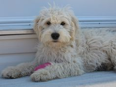 DoodleLane | Home-Raised Goldendoodle and Labradoodle Puppies
