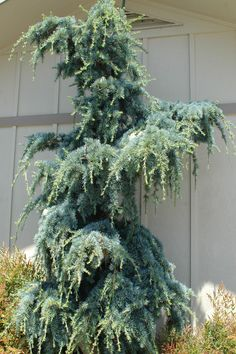 Cedrus libani Lebonese Cedar 'Blue Angel' 6-8ft/10yrs Growing narrow and upright with weeping tips, this unusual cedar can sometimes take on the look of a creature…very cool! The blue-green foliage is dense and lush year round. Easy to grow and hardy as well. Will need staking for a year or two to get going up. A contender for the 'Cousin It' award.