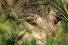 Gray Timber Wolf Peeking and Hiding Through Vegetation. (Photo by Jim and Jamie Dutcher).