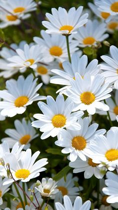 daisies_white_meadow_summer_mood_64786_640x1136 | Flickr - Photo Sharing!