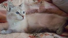 Layla is an adoptable Ragdoll Cat in Ennis, TX. Layla is a lovely 10-12 month old Lilac Lynx Point Ragdoll mix. She has the most lovely color, almost a silver, and has big blue eyes. In addition to he...