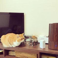 #いち #HappyHalloween あたち、今、とっても上手にインテリアになれてるでしょ♡ 今日は仮装じゃないけど…テレビ周りの飾りに混ざるいちちゃんをお送りいたします♡ しばらくここでゆっくりしていましたww 加湿器の水が気になってしょうがないみたいww ☻ ☻ #猫 #子猫 #cat #愛猫 #エキゾチックショートヘア #鼻ぺちゃ #ぶさかわ #ねこのいる暮らし #ねこのいる生活 #にゃんすたぐらむ #ふわもこ #ふわもこ部 #インテリア雑貨 #バレてないつもり  #いや大き過ぎてわかるわ #実はゾウ好き  #家にゾウさんいっぱい