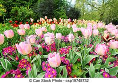 Stock Photo - Spring tulips in St James park, London - stock image, images, royalty free photo, stock photos, stock photograph, stock photographs, picture, pictures, graphic, graphics