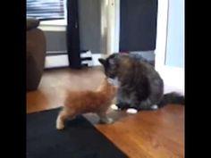 Cüssesine bakmadan dayılanan kedi