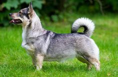 The Swedish vallhund, also known as the Viking dog, is a more-than-thousand-year-old dog that looks like a cross between a husky and a corgi. Adorable!