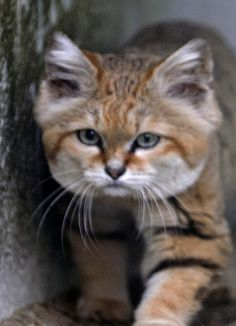 Sand cat   a small wild cat found in the deserts of North Africa and southwestern Asia.