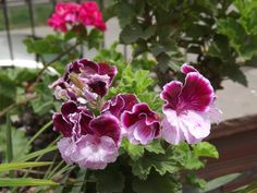 Malvón pensamiento o Pelargonium domesticum Bailey   Plantas