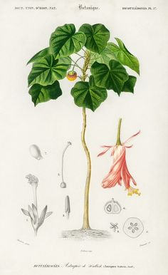 Astrapoea Wallichii illustrated by Charles Dessalines D' Orbigny (1806-1876). Digitally enhanced from our own 1892 edition of Dictionnaire Universel D'histoire Naturelle.   free image by rawpixel.com