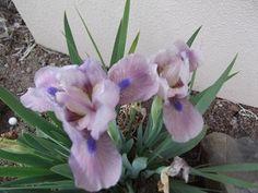 Iris dwarf, Windrose
