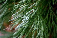 sequoiadendron giganteum - Google Search