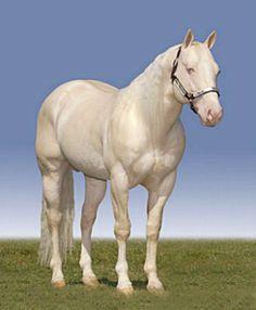 Cremello AQHA quarter horse stallion, Shiners Zan Parr.
