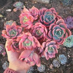 I hope everyone is enjoying their Wednesday! Echeveria Tinkerbells can be purchased on the website - link in bio. I have single heads and doubles available.