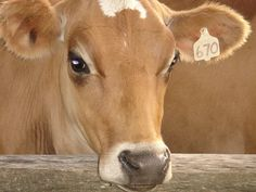 sweet cow face by Kimberly207, via Flickr