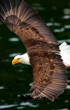 Beautiful Birds, Animals Beautiful, Eagle Wallpaper, Eagle Pictures, World Birds, Eagle Art, Big Bird, Birds Of Prey, Dojo