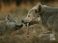 Gray Wolf Pup Begs an Adult for a Bone to Chew Photographic Print by Jim And Jamie Dutcher at Art.com