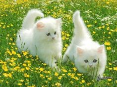 Cute Kittens An Puppies it is Cute Cats Wallpaper For Laptop down Cute Cats Pictures Wallpaper Cute Baby Cats, Kittens And Puppies, Cute Cats And Kittens, Cute Baby Animals, Kittens Cutest, Funny Kittens, Kittens Playing, Kittens Meowing, Little Kittens