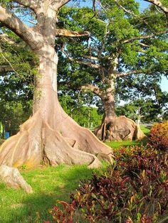 Ceiba Trees Quebradilla,  Puerto Rico  #Quebradilla   #PuertoRico
