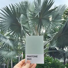 I love #bismarckpalm trees! # Depending on the light the leaves can have silver, blue or green tints. #Pantone9041 on a cloudy day like today! #Keywest #colorsofthekeys #palmtree #palmtrees #THEpantoneproject #pantone #DScolor #DStexture #pantoneproject #findhue #ABMlifeiscolorful #pantonegram #colorhunters #colorventures #colorcolourlovers #postitfortheaesthetic #nothingisordinary #Bismarckianobilis #unlockthekeys