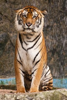 Types of Tigers Around the World: Tiger Subspecies