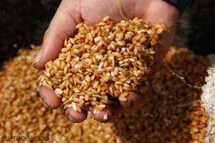 #arrozenvena es cultivar